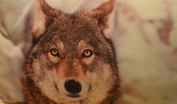 Dit is niet de wolf die bij de Alde Feanen is gezien.