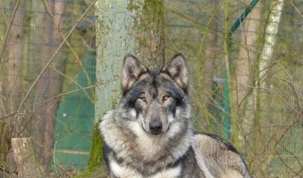 <p>Een wolf in een dierentuin. Stichting Wolvenhek Frysl&acirc;n vreest met name<br>wilde wolven die zich steeds meer over Europa verspreiden.</p>