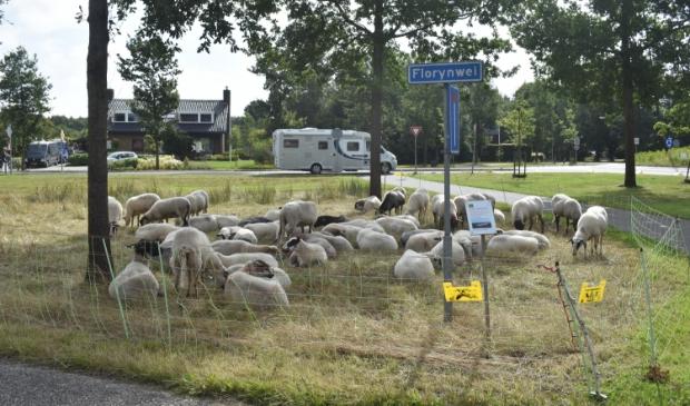 Deze Schoonebeeker schapen houden in Burgum het gras kort.
