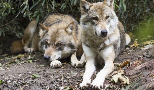 De Europese wolf, Canis Lupus.