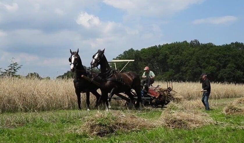 De rogge word met paarden geoogst en uiteindelijk op schoven gezet. Foto: Marie Bello-Boom.
