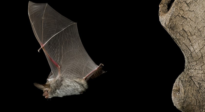Vleermuis. (foto: IVN)