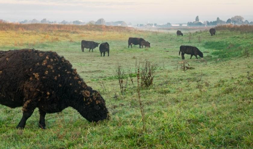 Positief effect natuurlijke begrazing in de Gelderse Poort. (foto: Fokko Erhart)