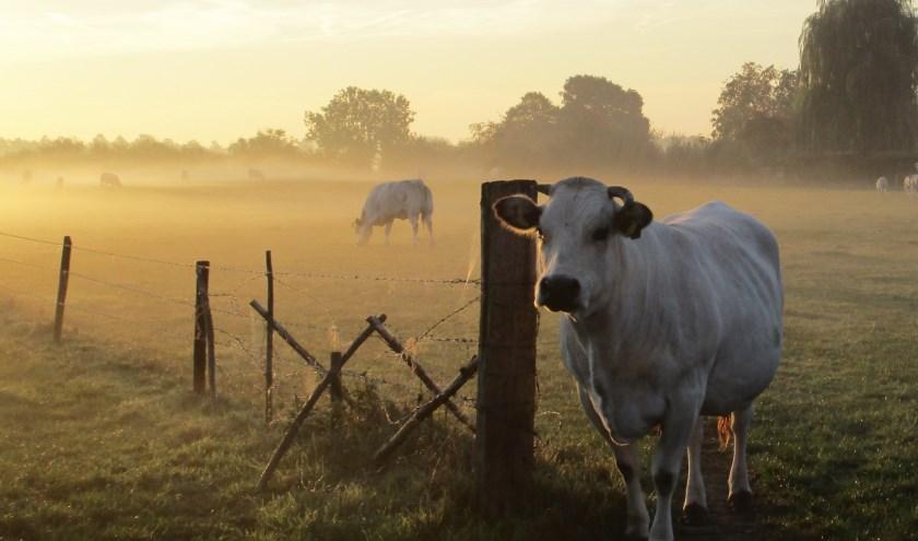 Koeien van Landgoed Huis Sevenaer. (foto: Joyce van Katwijk)