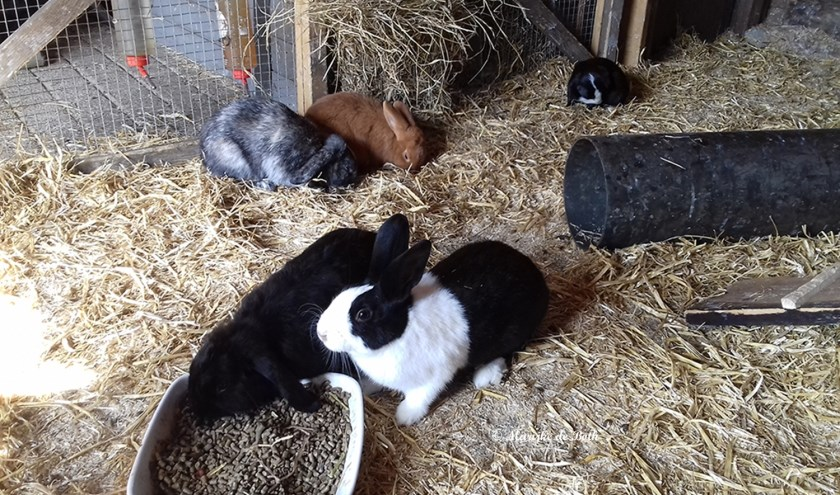 Konijnen van de kinderboerderij. (foto: Marijke de Both)