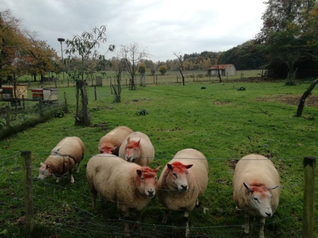 Bijzondere schapen op de Laarsenberg in Rhenen. (foto: Rob Moret) Foto: Rob Moret © Hét Gemeentenieuws
