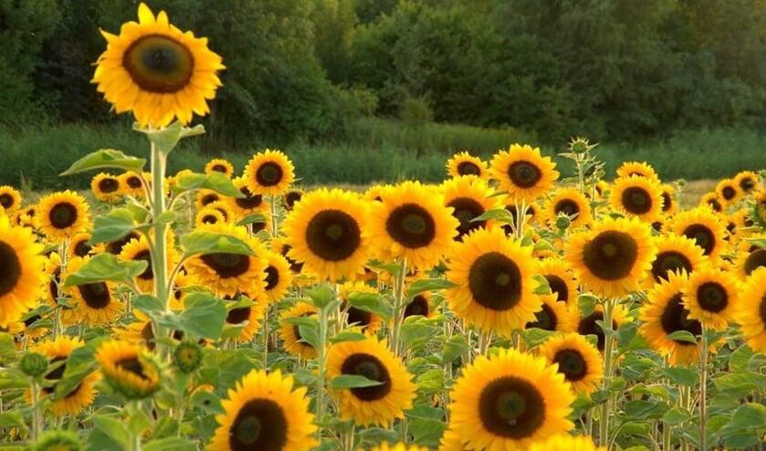 Zonnebloemen. (foto: Geldersch Landschap & Kasteelen)