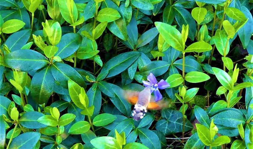 Maagdenpalm met vlinder. (foto: Amateurfotograaf Paul Rongen)