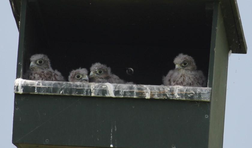 25 mei Marsdijk. Vier edele valkenogen keken mij aan! (foto: Henk van der Kooij)