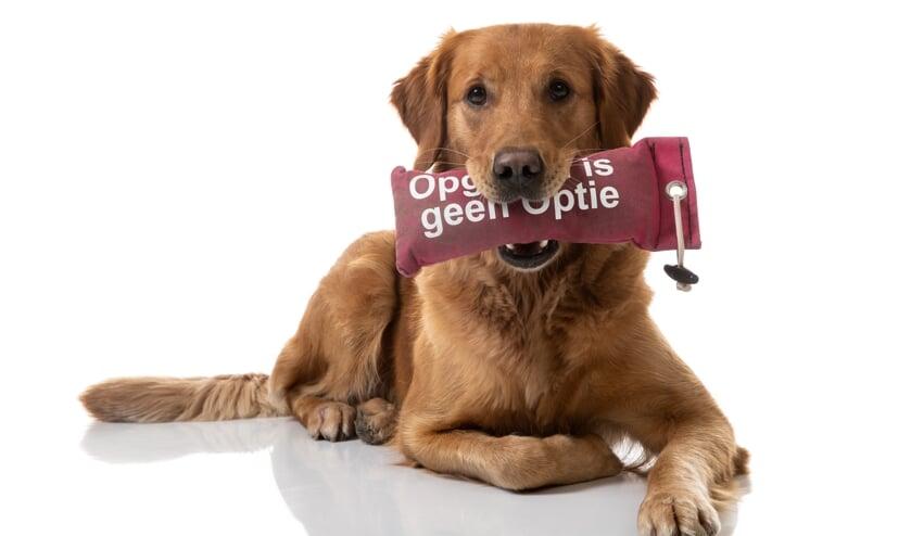 Foto in bijlage gemaakt door: Ron Baltus. (vrij van rechten opnamedatum 20.12.2019 hond Leia met dummy KWF opgeven is geen optie). (foto: Ron Baltus)