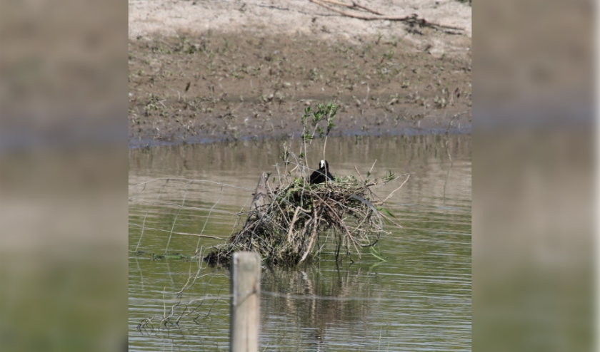 18 mei. Hoogzitnest Meerkoet bij Ochten. (foto: Henk van der Kooij)