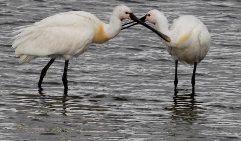 2 juli. Lepelende tederheid tussen twee volwassen Lepelaars, De Tollewaard, Lienden. (foto: Henk van der Kooij)