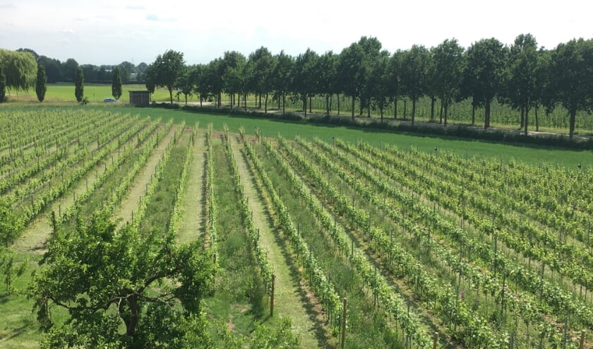 De wijngaard. (foto: Arjan Stam)