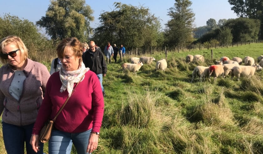 <p>Klompenpad passeert ook de grazende schapen. (foto: JvdS)</p>