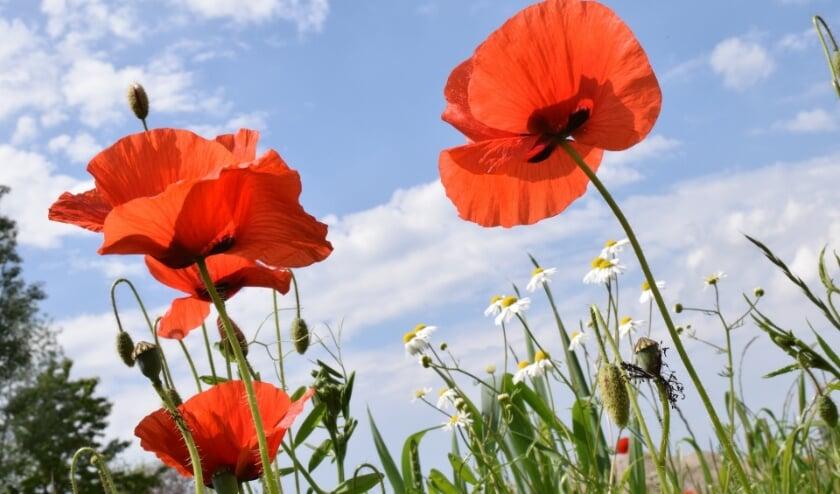 <p>Poppy flowers. (foto: Ulleo via PIxabay)</p>