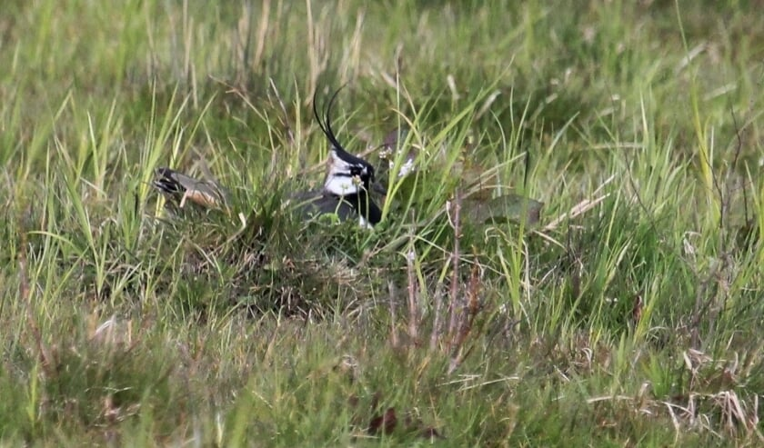 <p>15 april Tollewaard. Broedende Kievit in kruidenrijk grasland. Staat de kuif recht overeind daar de vogel mij ziet? (foto: Henk van der Kooij)</p>