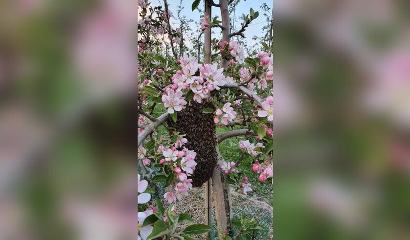 <p>Zwerm bijen is uitgevlogen. (foto: Robert van der Hoef)</p>