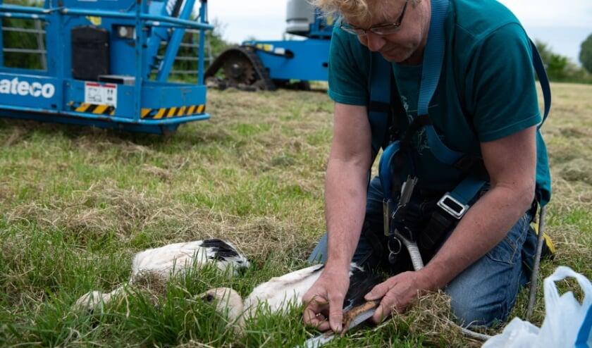 <p>Jeroen Kuipers van de stichting Ooievaars Research & Knowhow meet de pootlengte van een jonge ooievaar. (foto: Suzan)</p>