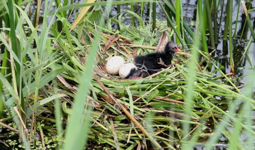 <p>2 juli Tielsestraat. Nest Waterhoen met een verrassende variatie aan inhoud. (foto: Henk van der Kooij)</p>