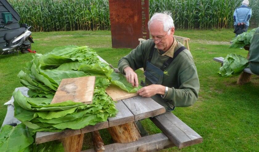 <p>Het insnijden van de Tabaksbladeren. (foto: Arie van Barneveld)</p>