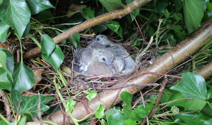 <p>13 augustus Kesteren. Twee forse jonge Houtduiven keken mij vanaf het ruikende nest onverstoorbaar aan. (foto: Henk van der Kooij)</p>